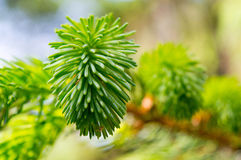 Green pine needles at bright sunny day Royalty Free Stock Photography