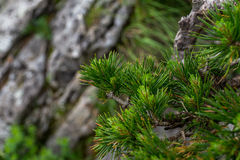 Green pine needles. Green pine brunches on stony background on spring royalty free stock photo