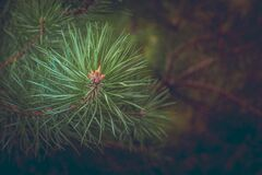 Green Pine Needles at Daytime Stock Images