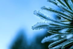 Green pine needles in frost. Stock Images