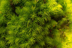 Green pine needles. Newly grown spring pine needles Royalty Free Stock Image