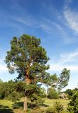 High pine forest Stock Image