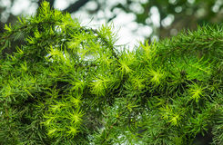 Green pine needles. Spring, pine forest of pine trees were pulled out after a spring rain pale green buds. From a distance, pine forest had put on a fresh green Stock Photos