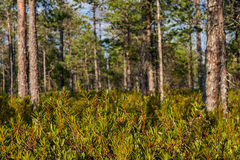 Green pine needles in sunny forest. With selective focus Royalty Free Stock Photo