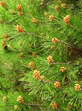 Green pine needles with young kidneys Royalty Free Stock Photography