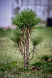 Green pine in spring time Royalty Free Stock Photography