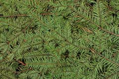 Green pine and spurce branches with needles closeup as coniferous trees background. Winter holidays and Christmas decoration. Evergreen wood texture Stock Image