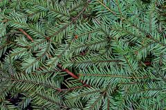 Green pine and spurce branches with needles closeup as coniferous trees background. Winter holidays and Christmas decoration. Evergreen wood texture Royalty Free Stock Image