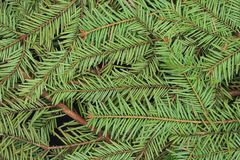 Green pine and spurce branches with needles closeup as coniferous trees background. Winter holidays and Christmas decoration. Evergreen wood texture Royalty Free Stock Photos