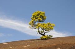 Green pine tree. On a dark volcanic ground Stock Image