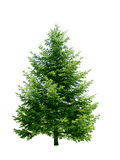 Green pine tree Stock Photos