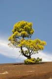 Green pine tree. On a dark volcanic ground Stock Photography