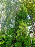 Green Pine tree  ane Willow in the park. Green Pine tree and Willow  in the tropical garden Stock Photo