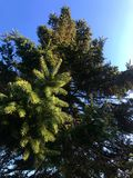 Green Pine tree in autumn Stock Image