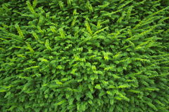 Green pine tree background Stock Image