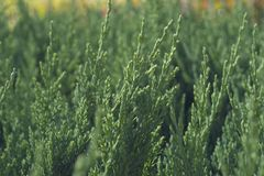 Green pine tree background. Close up stock photography