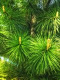 Green pine tree background. Forest tree green pine background texture Stock Image