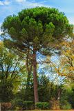 Green pine tree on blue sky background. Green tree on blue sky background Royalty Free Stock Photos
