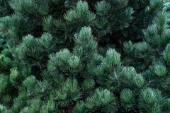 Green pine tree brances background close-up view. Green pine tree brances background close-up view Stock Image
