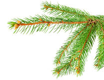 Green pine tree branch Stock Image