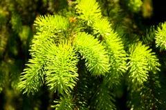 Green pine tree branch Royalty Free Stock Photo