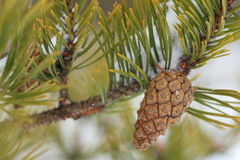 Green pine tree branch with a cone. Stock Image