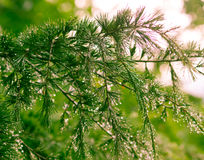 Green pine tree branch Royalty Free Stock Photo