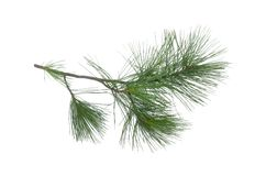 Pine tree branch. Green pine tree branch isolated on white background stock photo
