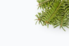 Green pine tree branch on white. Pine tree branch on white background with copy space Royalty Free Stock Photo