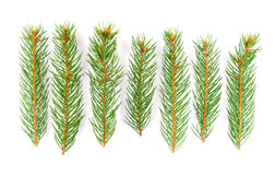 Green pine tree branches Royalty Free Stock Images