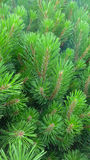 Green pine tree Royalty Free Stock Images