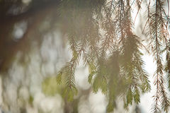 Green pine tree brunch at sunset for background Royalty Free Stock Photography