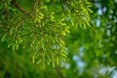 Green pine tree in close in summer in young forest Royalty Free Stock Image