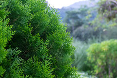 Green pine tree. Closeup of green christmas tree with forest background, selective focus stock photography