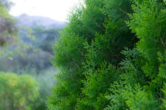 Green pine tree. Closeup of green christmas tree with forest background, selective focus royalty free stock photo