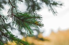 Green Pine Tree Closeup Shot. Into The Woods With Water Drops Over It Stock Photography
