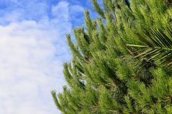 Green Pine Tree With Cloudy Sky Background Stock Photo