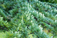Green pine tree cones in spring Stock Image