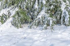 Green pine tree covered with snow and snow in foreground. Forest Royalty Free Stock Photo
