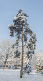 Green pine tree covered with snow, public park, close up. Winter time, frozen Royalty Free Stock Photo