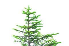 Green pine tree with difficulties in growing in alpine mountain landscape royalty free stock photo
