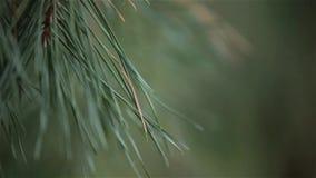 Green pine tree, dynamic change of focus, close up. Green pine tree needles in the wood, dynamic change of focus, close up stock video footage