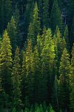 Green Pine tree Forest Royalty Free Stock Photos