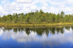 Green pine tree forest behind pond in marsh. Landscape of pinetree forest behind large pond in a bog in Estonia Royalty Free Stock Photos