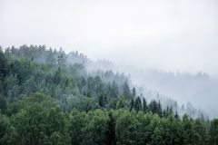 Pine tree forest on mountain in fog. Green pine tree forest on mountain in fog royalty free stock photography