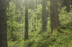 Green pine tree forest in the mountains royalty free stock image