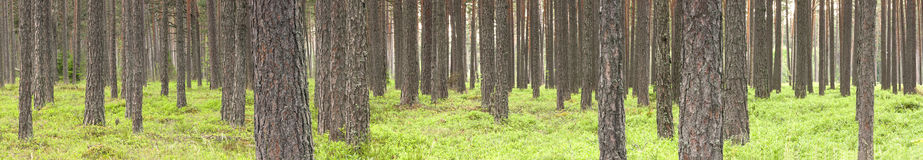 Green pine tree forest in summer Stock Photo