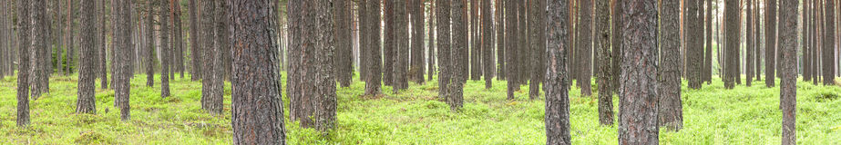 Green pine tree forest in summer Royalty Free Stock Photos
