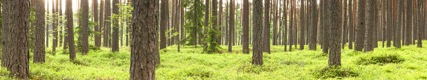 Green pine tree forest in summer Stock Photography