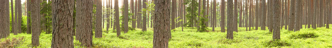 Green pine tree forest in summer Royalty Free Stock Image